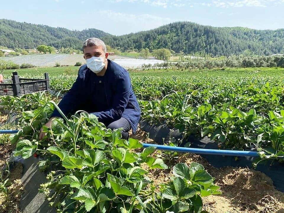 Adem Yeşildal çilek hasadı yaptı