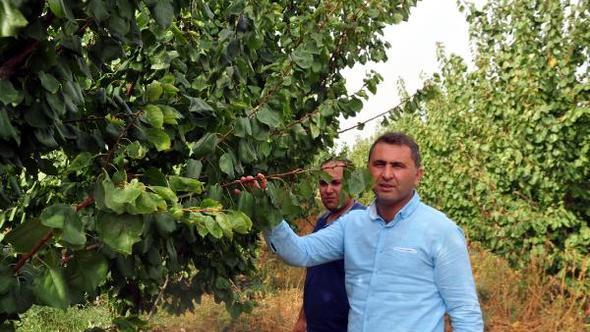 Reyhanlı'da meyvecilik gelişiyor