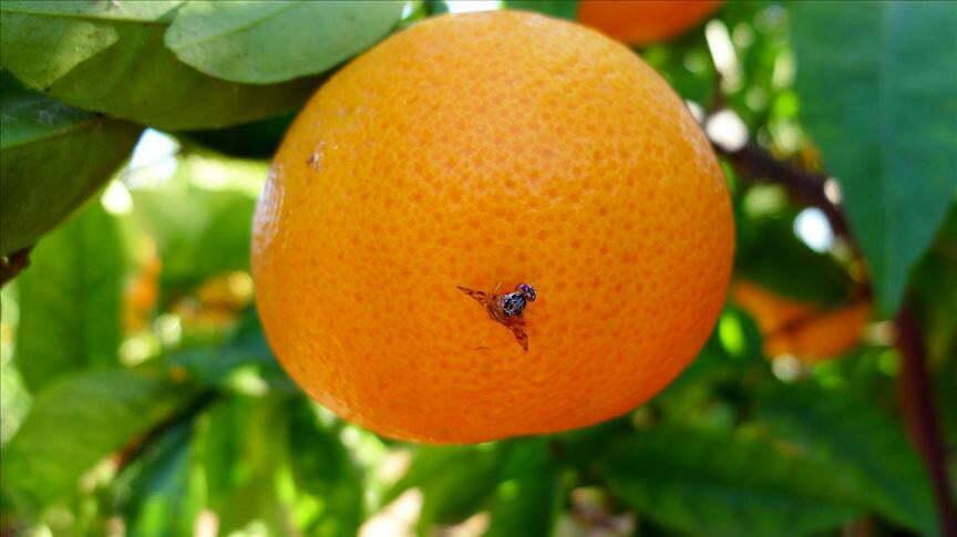 Meyve Sineği Tehdidi